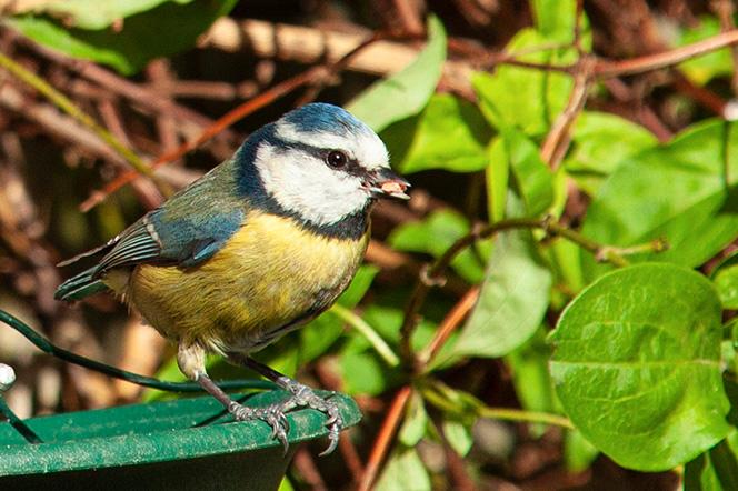 Close up shot of a blue tit bird in garden